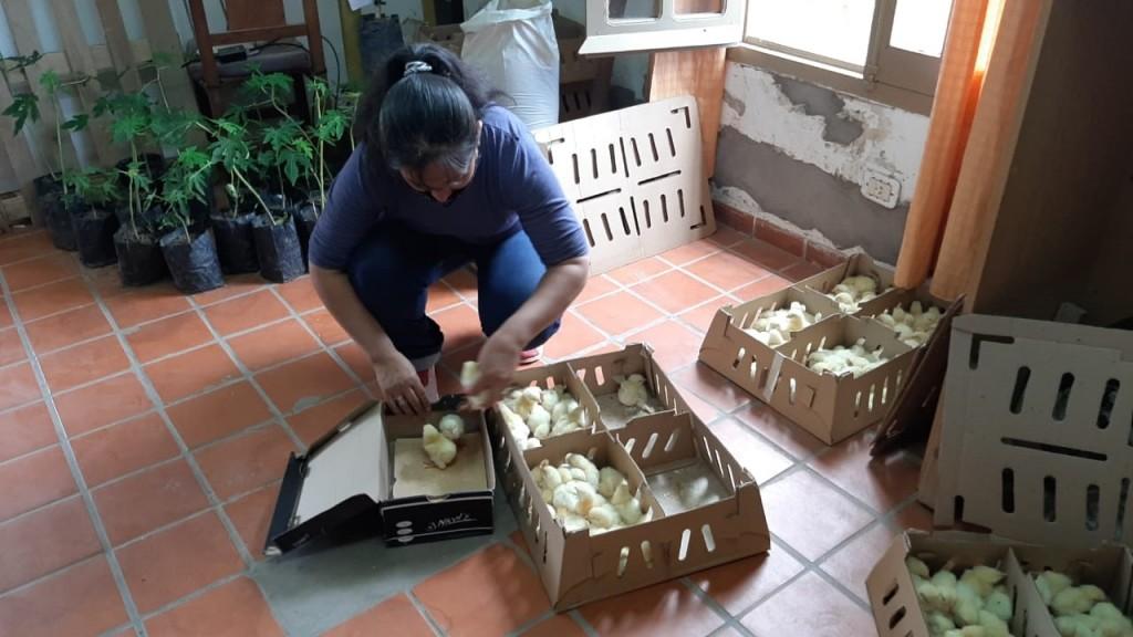 EL MUNICIPIO COORDINÓ ENTREGA DE 800 POLLITOS PARRILLEROS SUPERANDO LAS 55 MIL UNIDADES EN 5 AÑOS